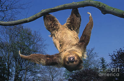 Two Toed Sloth Choloepus Didactylus Art Print