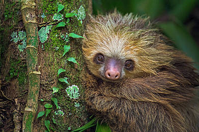 Sloth Photograph - Two-toed Sloth Choloepus Didactylus by Panoramic Images