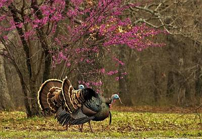 Two Tom Turkey And Redbud Tree Art Print by Sheila Brown