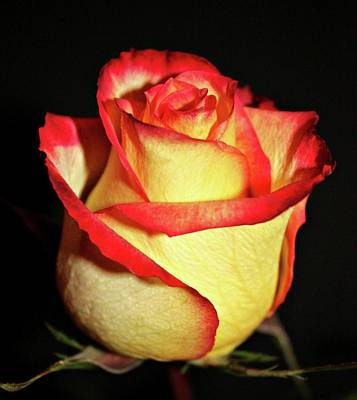 Pdx Photograph - Two Tone Rose by Cathie Tyler