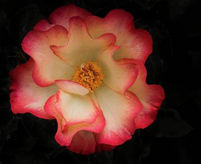 Photograph - Two Toned Rose by Jean Noren