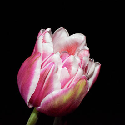 Photograph - Two Toned Tulip Bloom On Black by Lynda Anne Williams