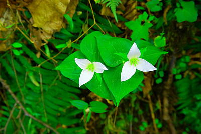 Forest Floor Photograph - Two Trilliums  by Jeff Swan