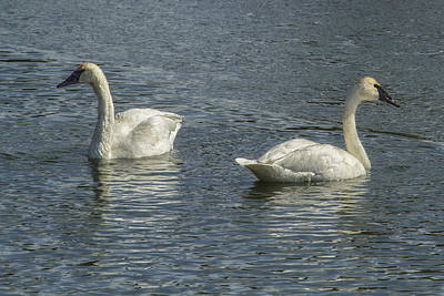 Photograph - Two Trumpeter Swans At Oxbow Bend by Belinda Greb