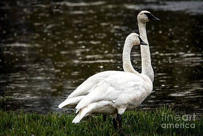 Photograph - Two Trumpter Swans by Robert Bales