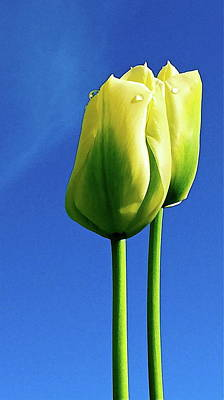 Two Tulips Against Blue Art Print by Caroline Reyes-Loughrey