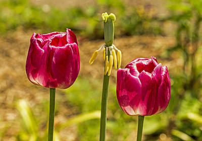 Photograph - Two Tulips by Bob Slitzan