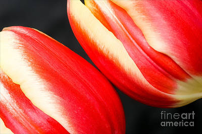 Photograph - Two Tulips by Colin Rayner