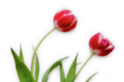 Intentional Camera Movement Photograph - Two Tulips by Janet Burdon