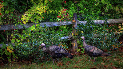 Photograph - Two Turkeys by Steve Gravano