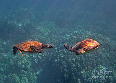 Hawaiian Green Sea Turtle Photograph - Two Turtle Tango by Bette Phelan