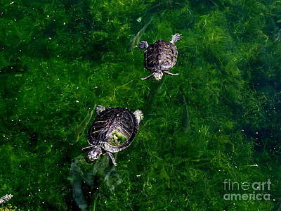 Photograph - Two Turtles by Ed Weidman