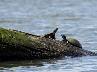 Photograph - Two Turtles On Log by Buddy Scott