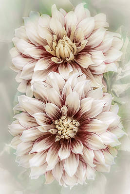 Two Vintage Dahlias Print by Julie Palencia