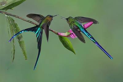 Long-tailed Sylph Photograph - Two Violet-tailed Sylphs In Ecuador by Juan Carlos Vindas