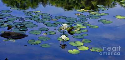 Photograph - Two Water Lilies by Marcia Lee Jones