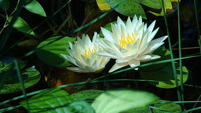 Two Waterlilies Print by Angela Annas