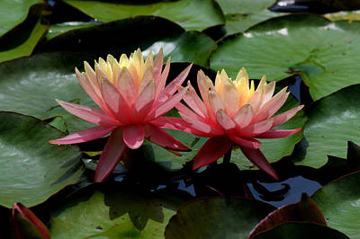Photograph - Two  Waterlilies  by Kathleen Stephens