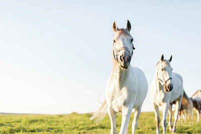 Photograph - Two White Horses Trotting Ahead On The Green Grass Field. by Michal Bednarek