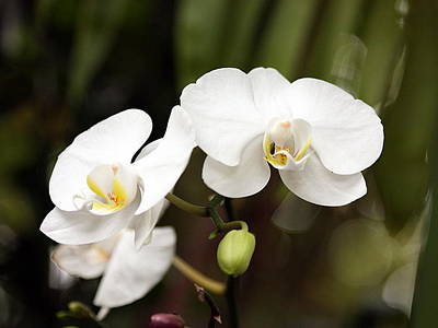 Photograph - Two White Orchids by Sheila Brown