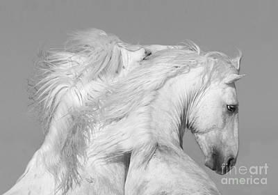 White Stallion Photograph - Two White Stallions Play by Carol Walker