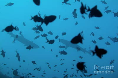 Two Whitetip Reef Sharks Swimming Amongst A School Of Blue Triggerfish Print by Sami Sarkis