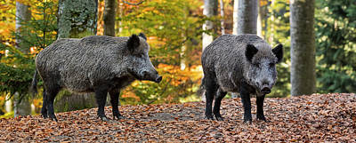Photograph - Two Wild Boars by Arterra Picture Library