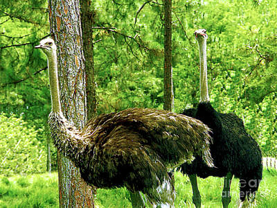 Photograph - Two Wild Ostriches - Lion County Safari by Merton Allen