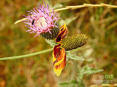 Photograph - Two Wild Wallflowers by Ella Kaye Dickey