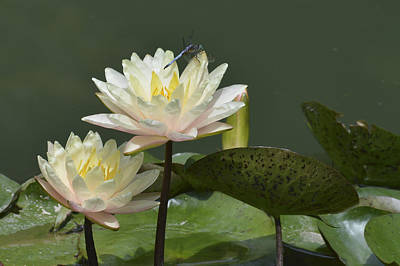 Two Yellow Water Lilies Art Print by Linda Geiger