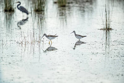 Photograph - Two Yellowlegs by Fran Gallogly