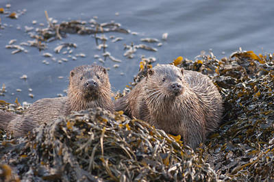 Photograph - Two Young European Otters by Karen Van Der Zijden