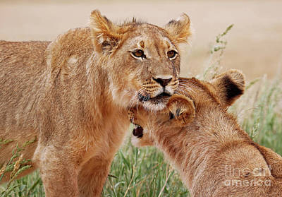 Photograph - Two Young Lions, Africa Wildlife by Wibke W