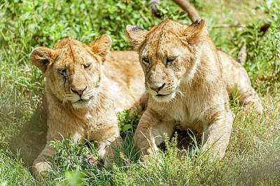 Photograph - Two Young Lions  In Serengeti by Marek Poplawski