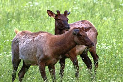 Great Smoky Mountains National Park Photograph - Two Young Male Elk by Carol R Montoya