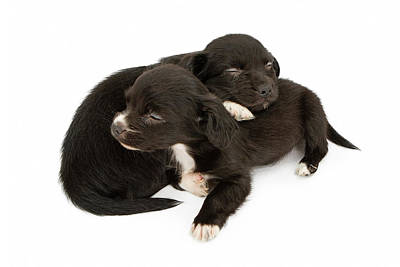 Two Young Puppies Snuggling Napping Art Print