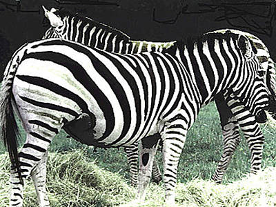 Photograph - Two Zebras - Heads Or Tails by Merton Allen