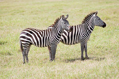 Photograph -  Two Zebras In Serengeti National Park by Marek Poplawski