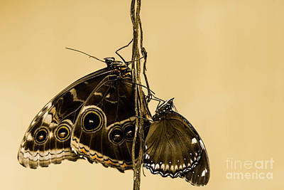 Morpho Wall Art - Photograph - Two's Company ... by DiFigiano Photography
