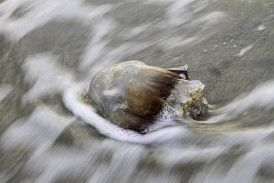 Photograph - Tybee Isalnd Jellyfish by Elizabeth Eldridge