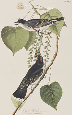 Flycatcher Drawing - Tyrant Fly Catcher by John James Audubon