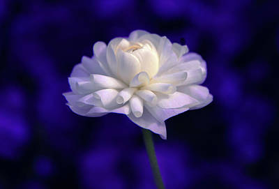 Photograph - Moonlight Ranunculus by Jessica Jenney
