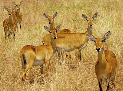 Photograph - Ugandan Kob by Dennis Cox WorldViews