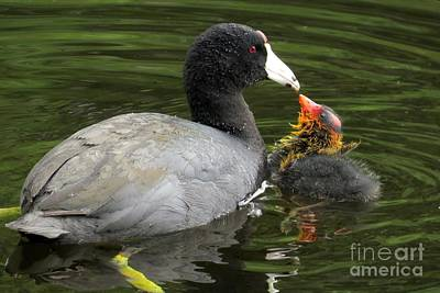 Photograph - Ugly Duckling by Frank Townsley
