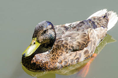 Photograph - Ugly Duckling  by Steven Brodhecker