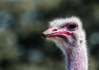 Photograph - Ugly Ostrich by Patti Deters