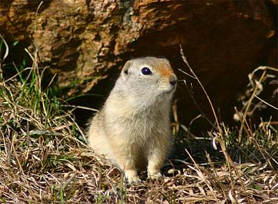 Uinta Ground Squirrel Art Print