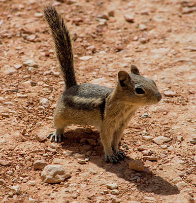 Photograph - Uintah Chipmunk In Bryce Canyon by Mike Shaw