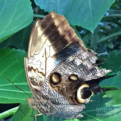 Photograph - Ultimate Owl Butterfly by Barbara Plattenburg