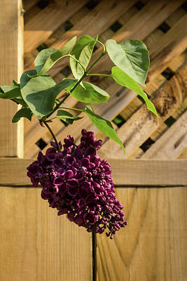 Photograph - Ultra Violet Escape Artist - Lilac Bloom Over Wooden Fence by Georgia Mizuleva